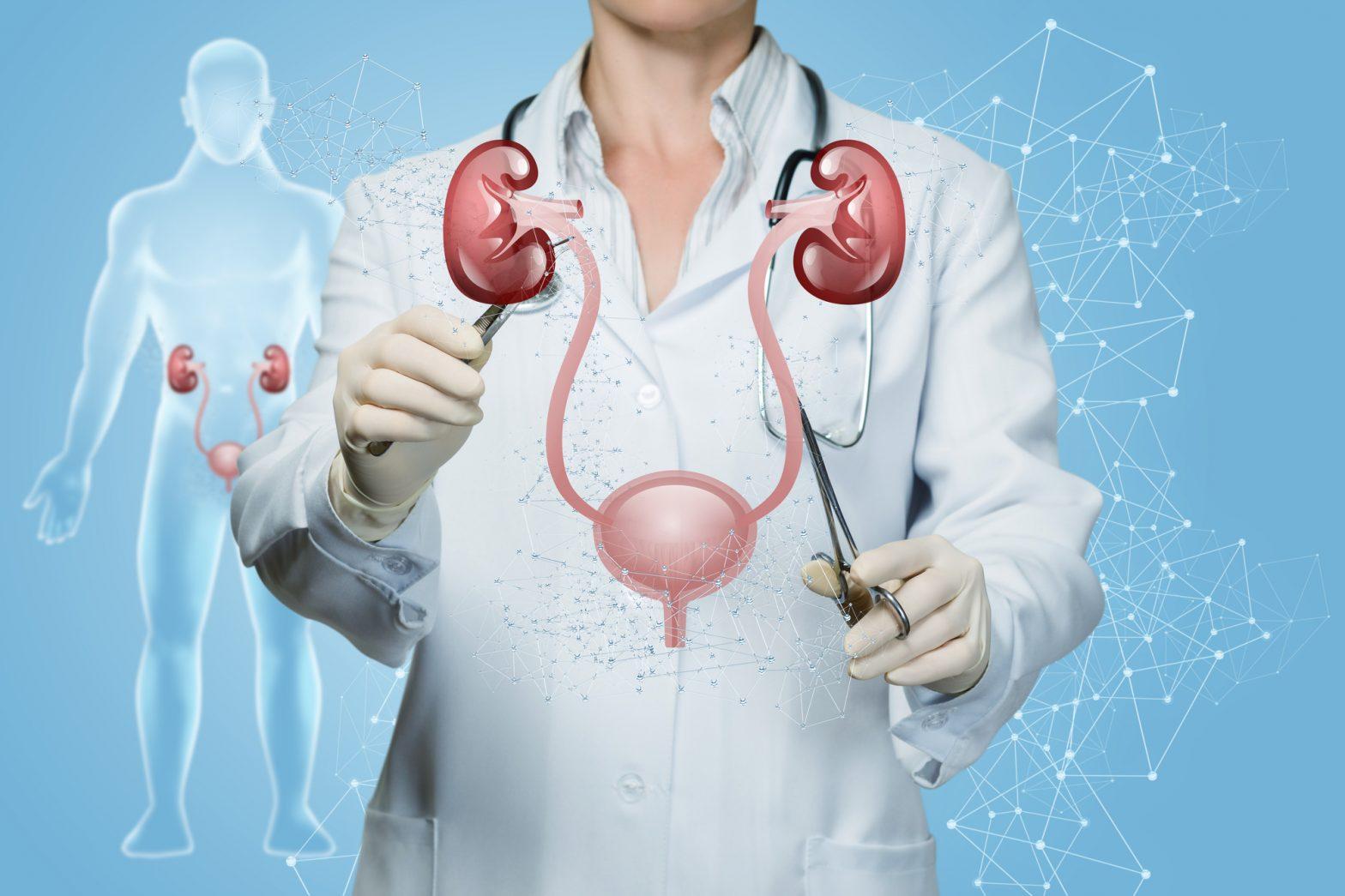 Структура мочевыделительной системы